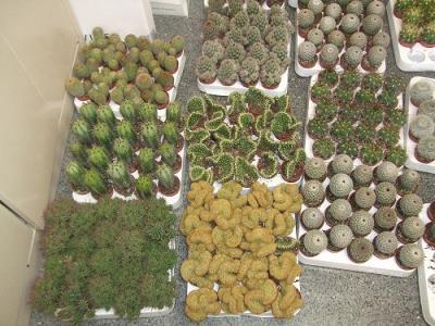 LA ENCARNACIÓN POR LORCA. Cactus solidario